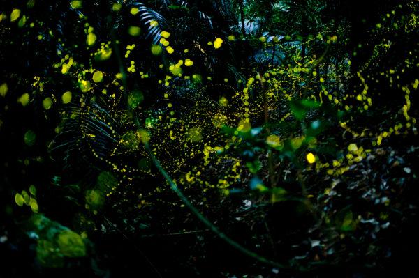 石垣島の蛍